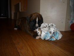Fotky štěňat boxera měsíc po narození.