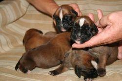 Fotky štěňátek 6 dní po jejich narození